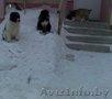 Щенки кавказской овчарки!