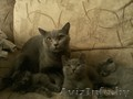 Британские плюшевые котятки)