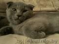 Британские плюшевые котятки) - Изображение #2, Объявление #1304599