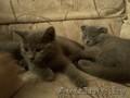 Британские плюшевые котятки) - Изображение #3, Объявление #1304599